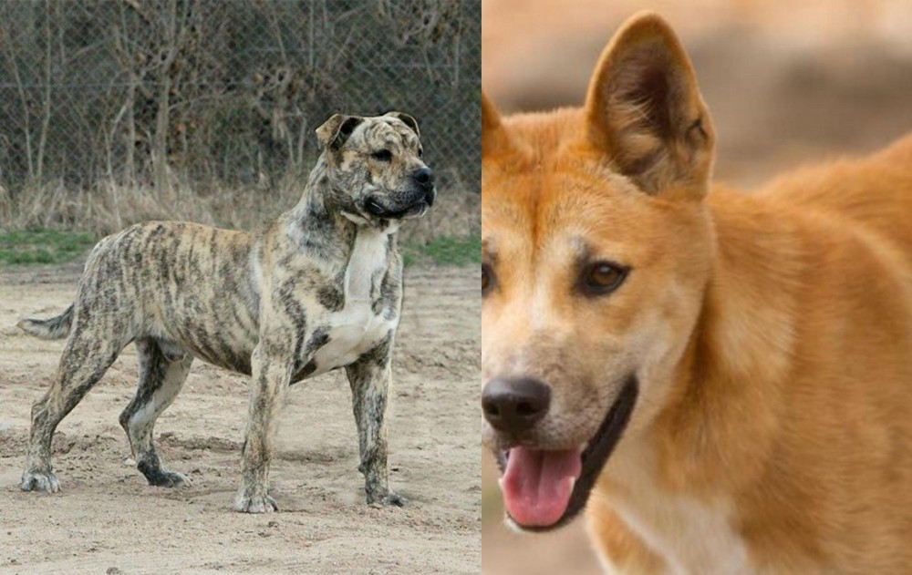 Perro de Presa Mallorquin vs Dingo