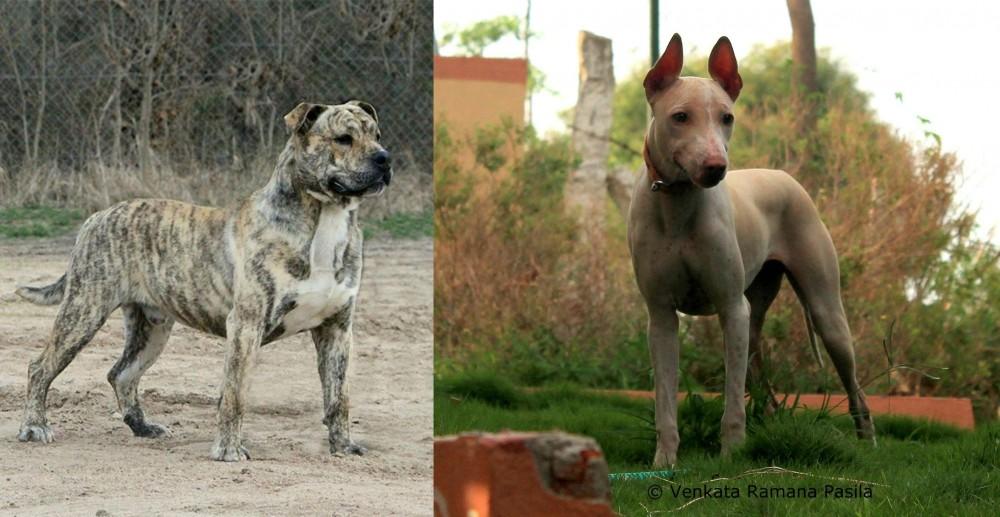 Perro de Presa Mallorquin vs Jonangi