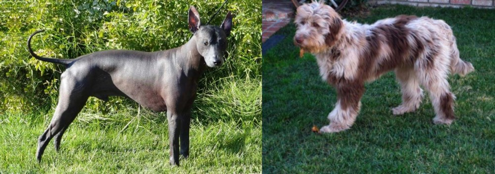 Peruvian Hairless vs Aussie Doodles