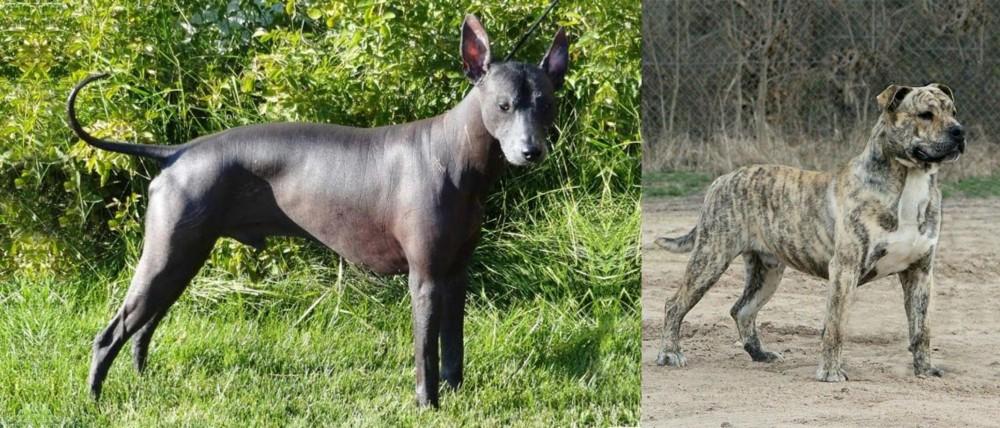 Peruvian Hairless vs Perro de Presa Mallorquin