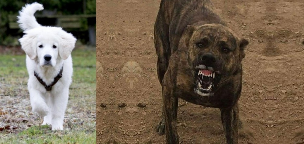 Polish Tatra Sheepdog vs Dogo Sardesco