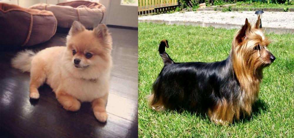 Pomeranian vs Australian Silky Terrier