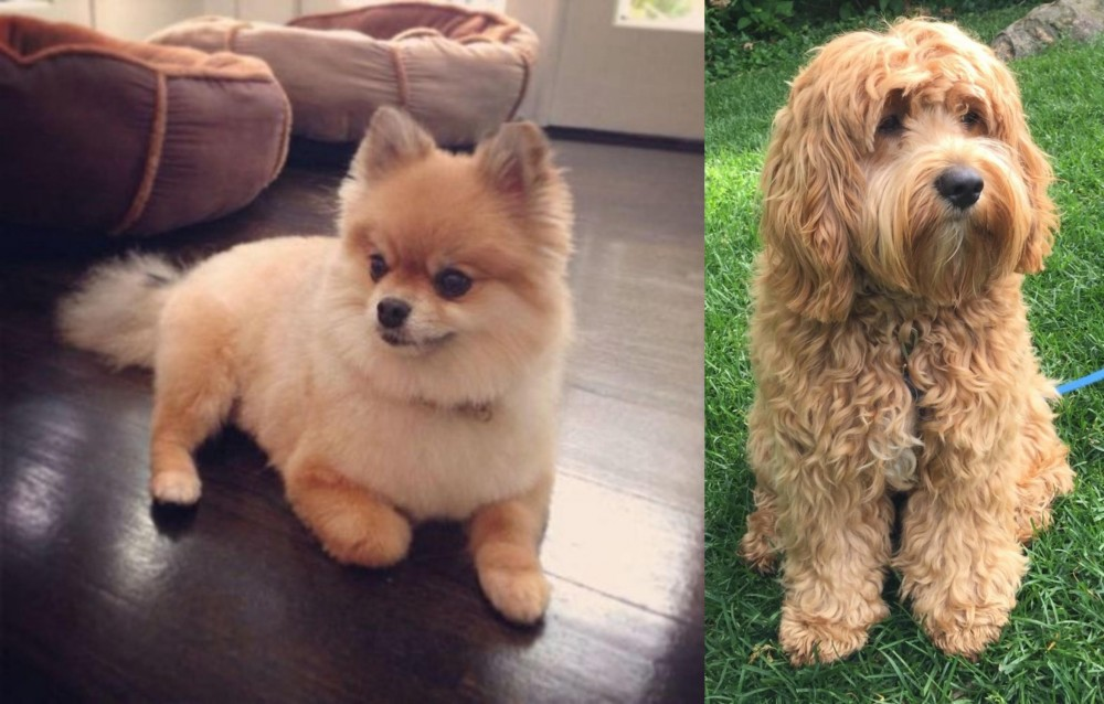 Pomeranian vs Cockapoo