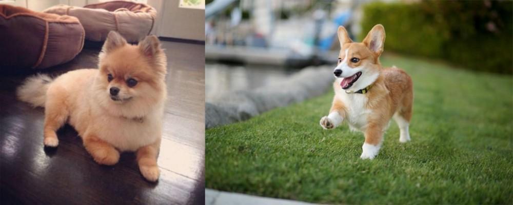Pomeranian vs Corgi