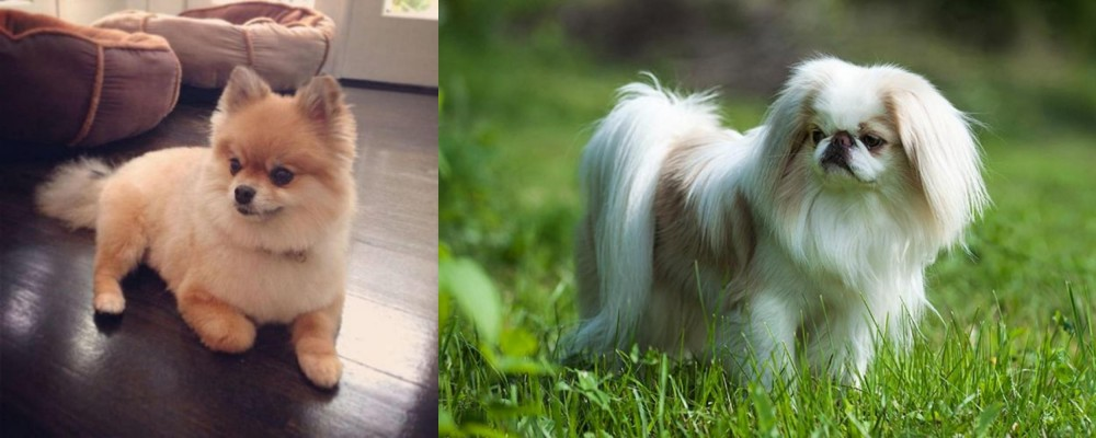 Pomeranian vs Japanese Chin