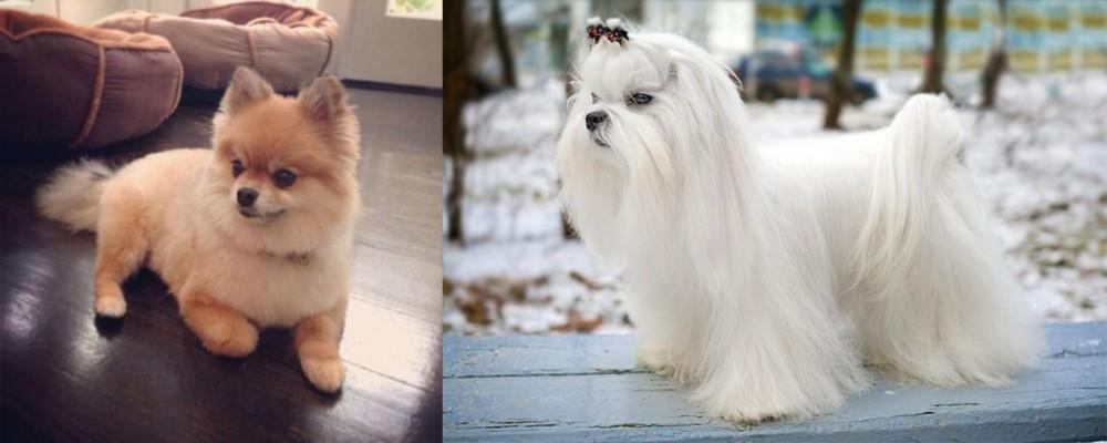 Pomeranian vs Maltese