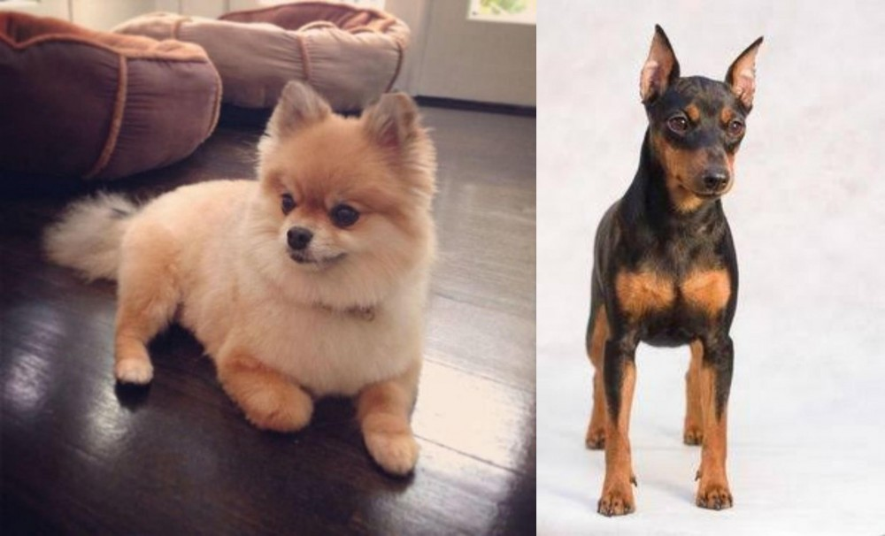 Pomeranian vs Miniature Pinscher