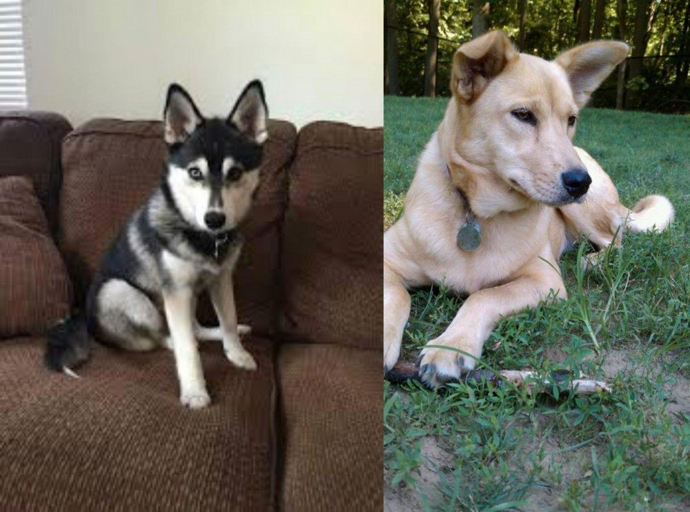 Pomsky vs Carolina Dog