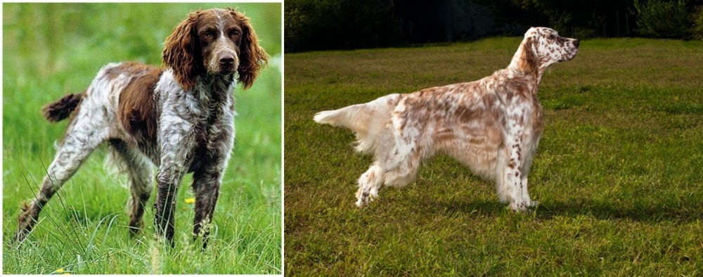 Pont-Audemer Spaniel vs English Setter