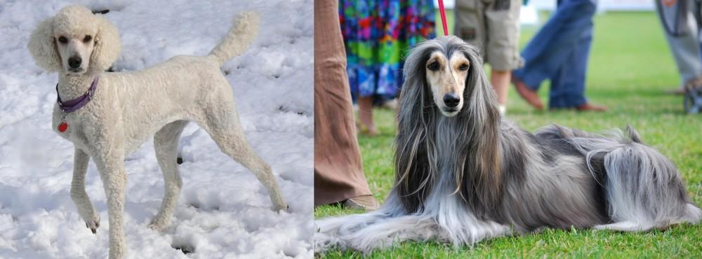 Afghan Hound vs Poodle