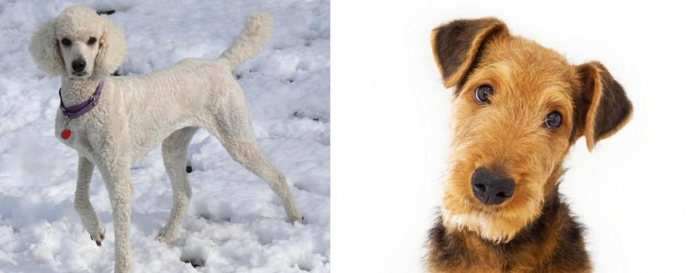 Airedale Terrier vs Poodle
