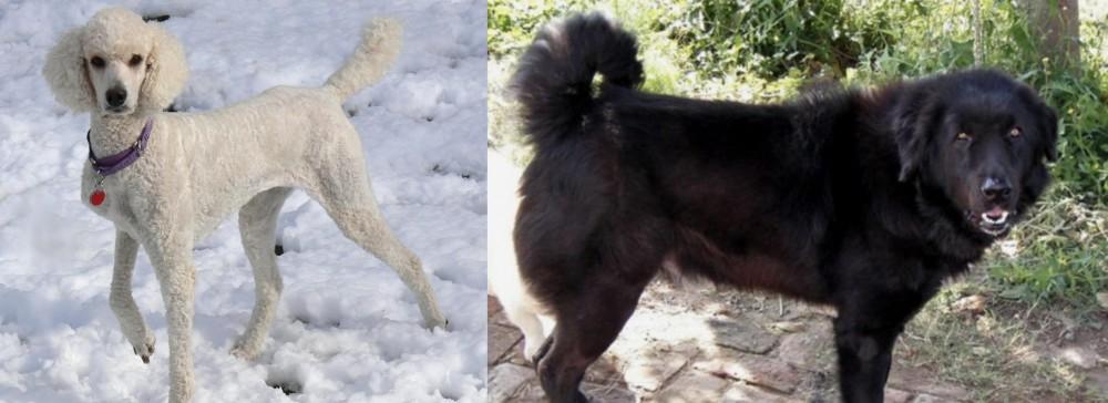Bakharwal Dog vs Poodle
