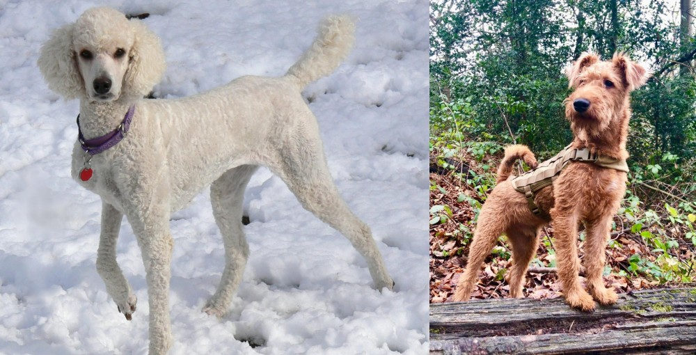 Irish Terrier vs Poodle