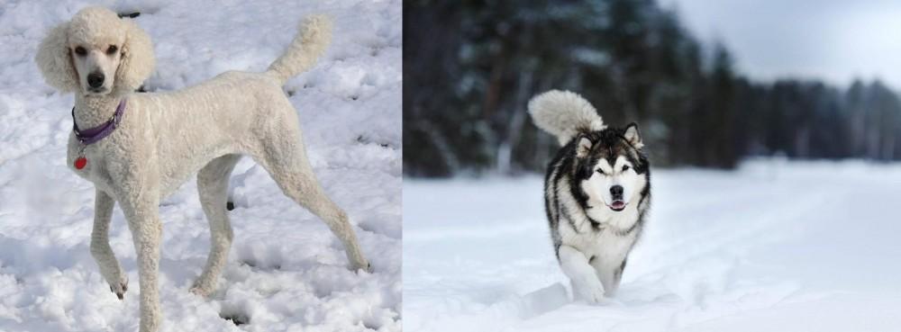 Siberian Husky vs Poodle