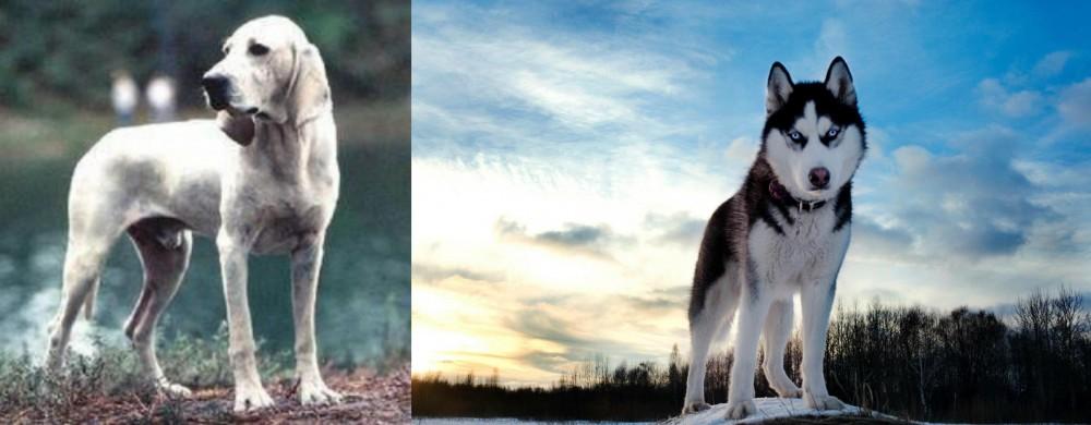 Porcelaine vs Alaskan Husky