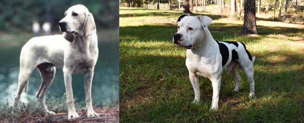 Porcelaine vs American Bulldog