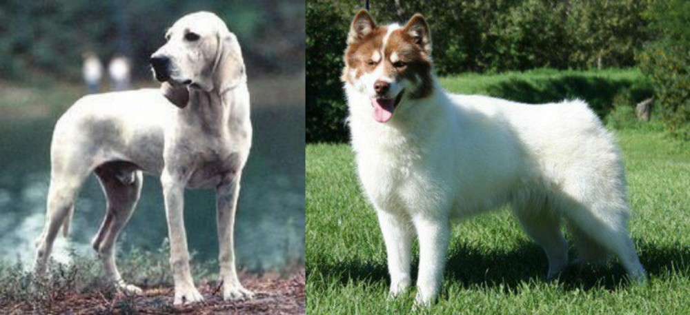 Porcelaine vs Canadian Eskimo Dog