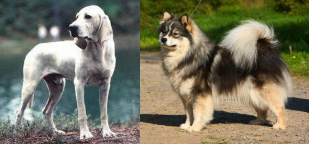 Porcelaine vs Finnish Lapphund