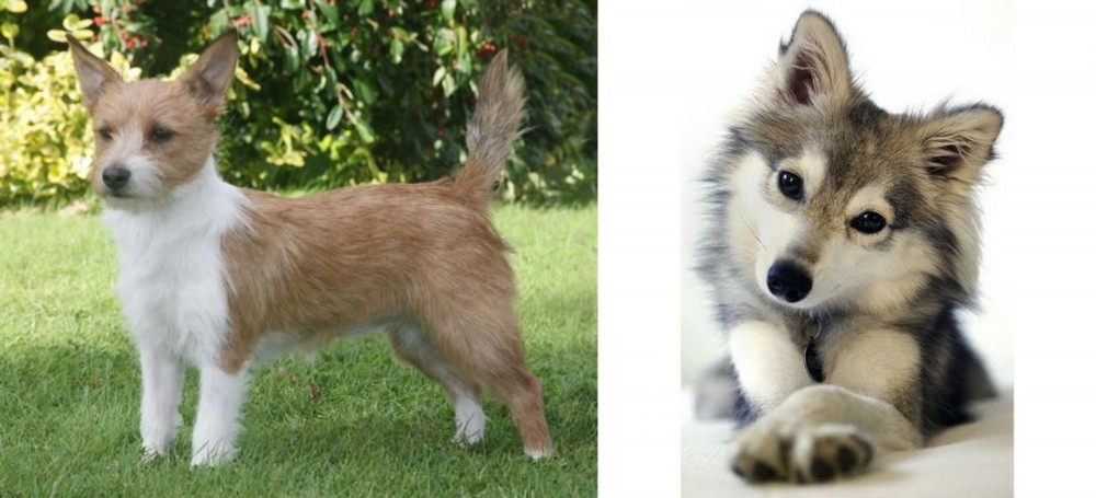 Portuguese Podengo vs Miniature Siberian Husky