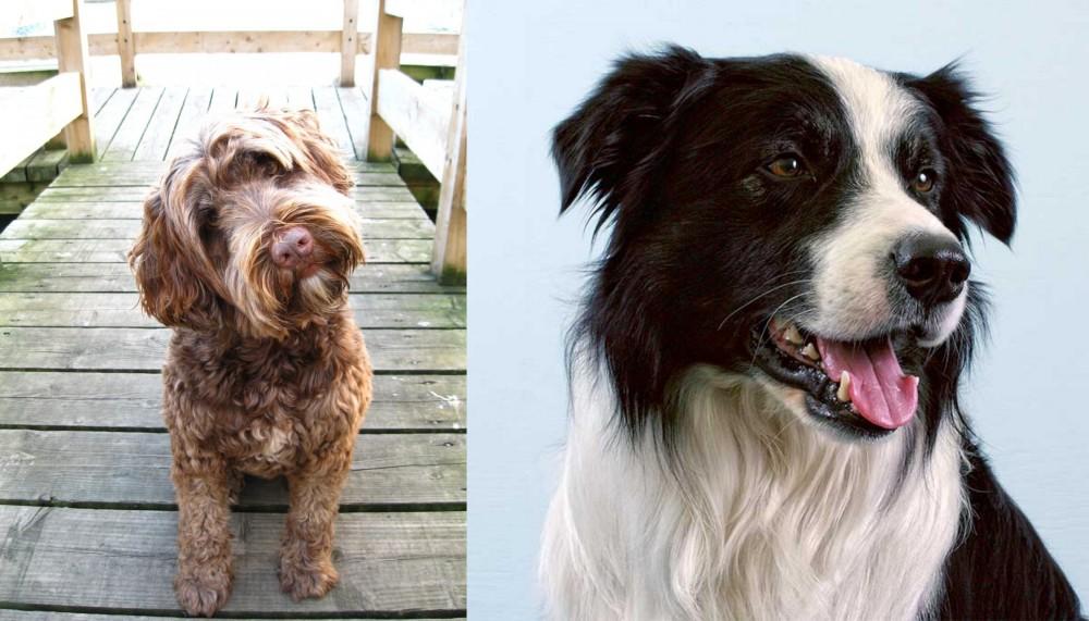 Portuguese Water Dog vs Border Collie