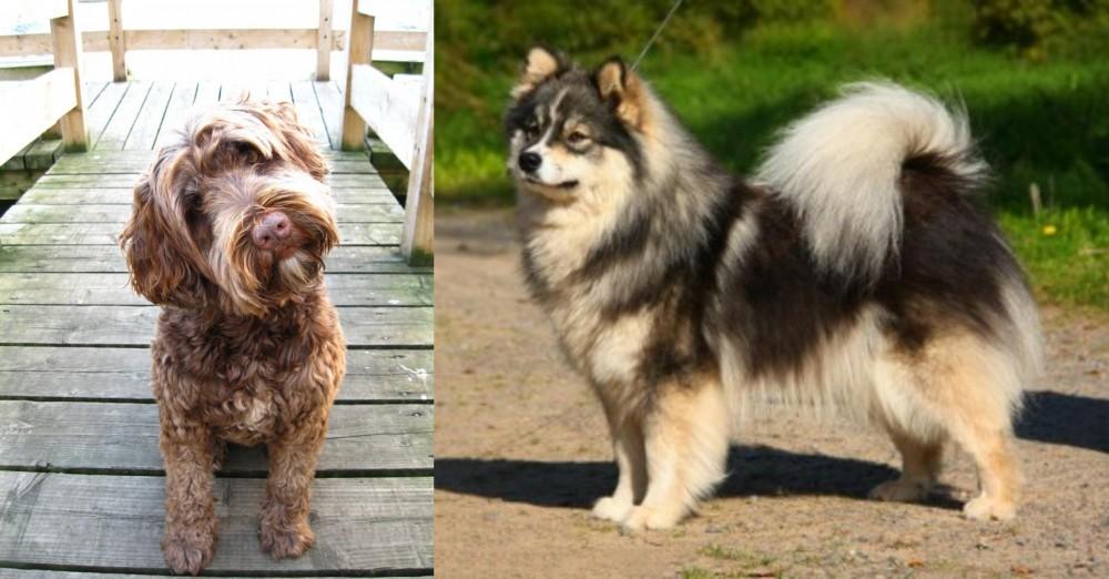 Portuguese Water Dog vs Finnish Lapphund