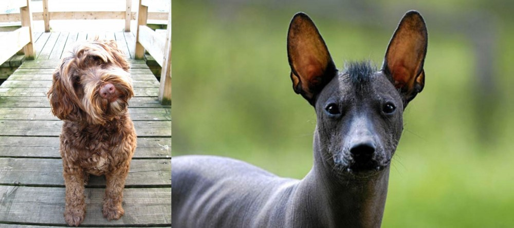 Portuguese Water Dog vs Mexican Hairless