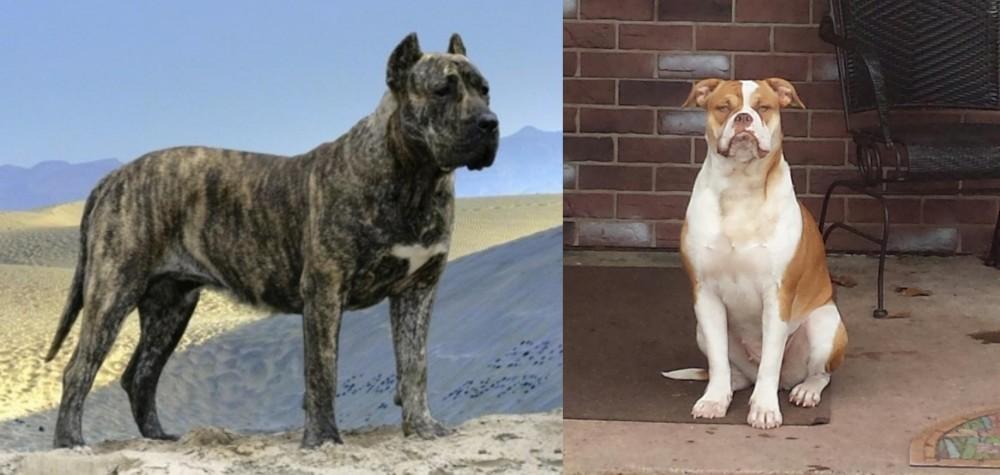 Presa Canario vs Alapaha Blue Blood Bulldog