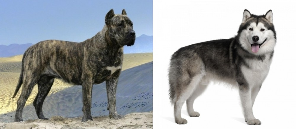 Presa Canario vs Alaskan Malamute