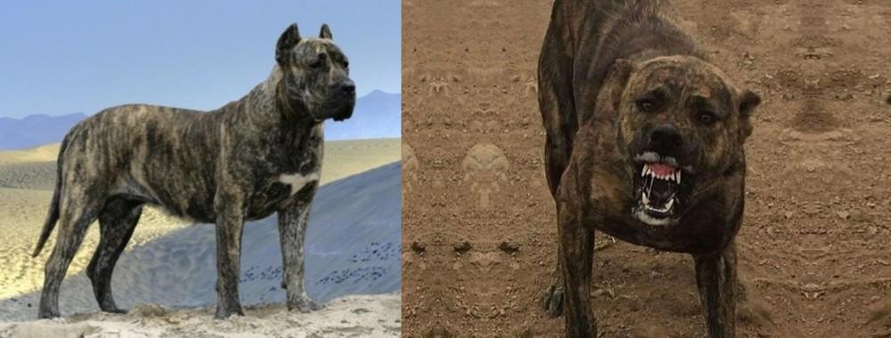 Presa Canario vs Dogo Sardesco