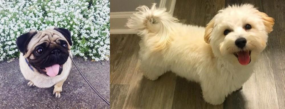 Pug vs Maltipoo