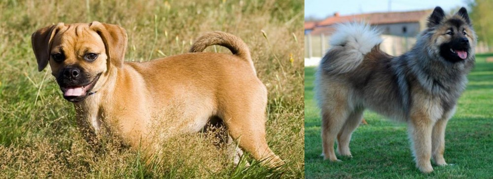 Puggle vs Eurasier