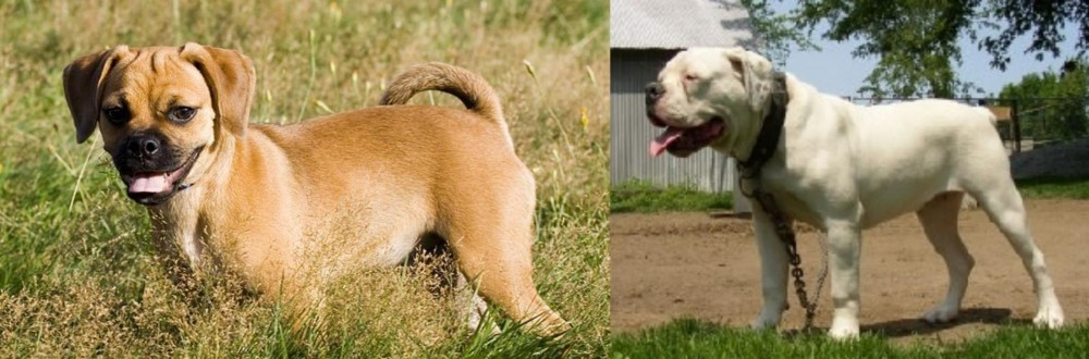 Puggle vs Hermes Bulldogge