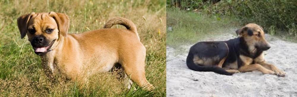 Puggle vs Indian Pariah Dog