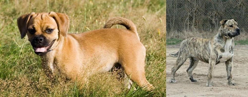 Puggle vs Perro de Presa Mallorquin