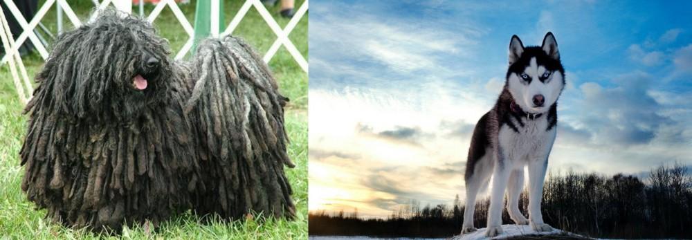 Puli vs Alaskan Husky