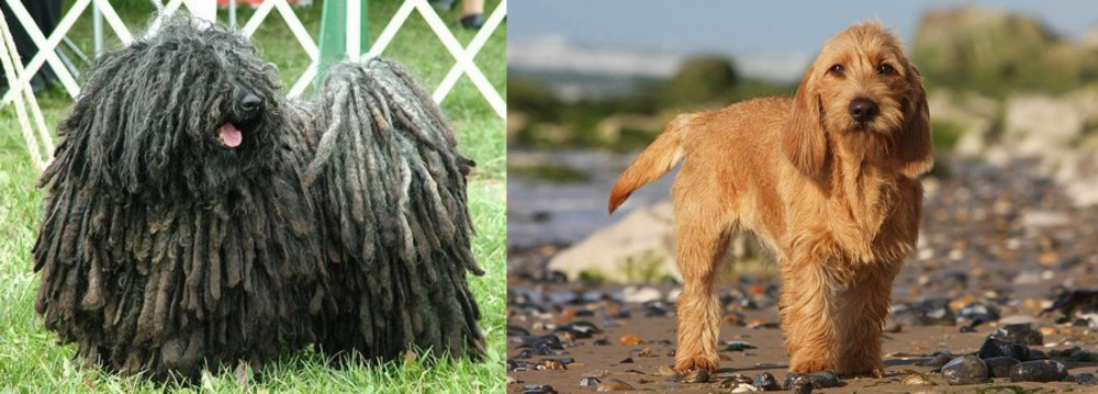 Puli vs Griffon Fauve de Bretagne