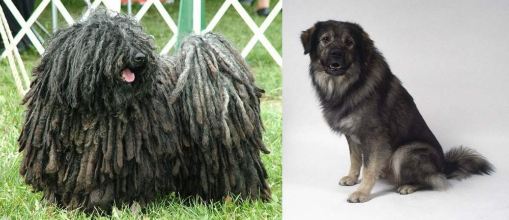 Puli vs Istrian Sheepdog