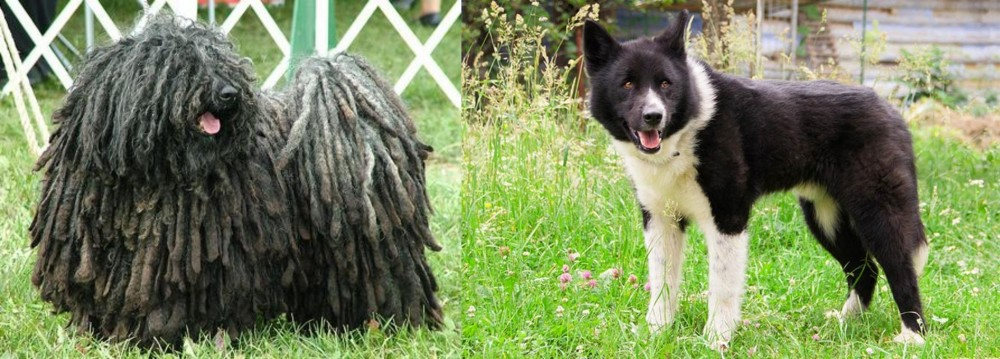 Puli vs Karelian Bear Dog