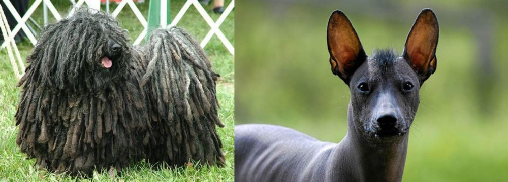 Puli vs Mexican Hairless