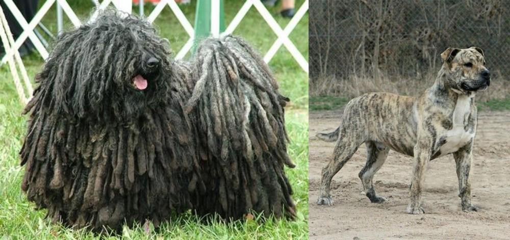 Puli vs Perro de Presa Mallorquin