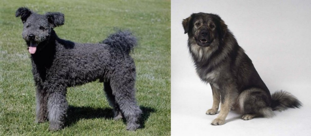Pumi vs Istrian Sheepdog