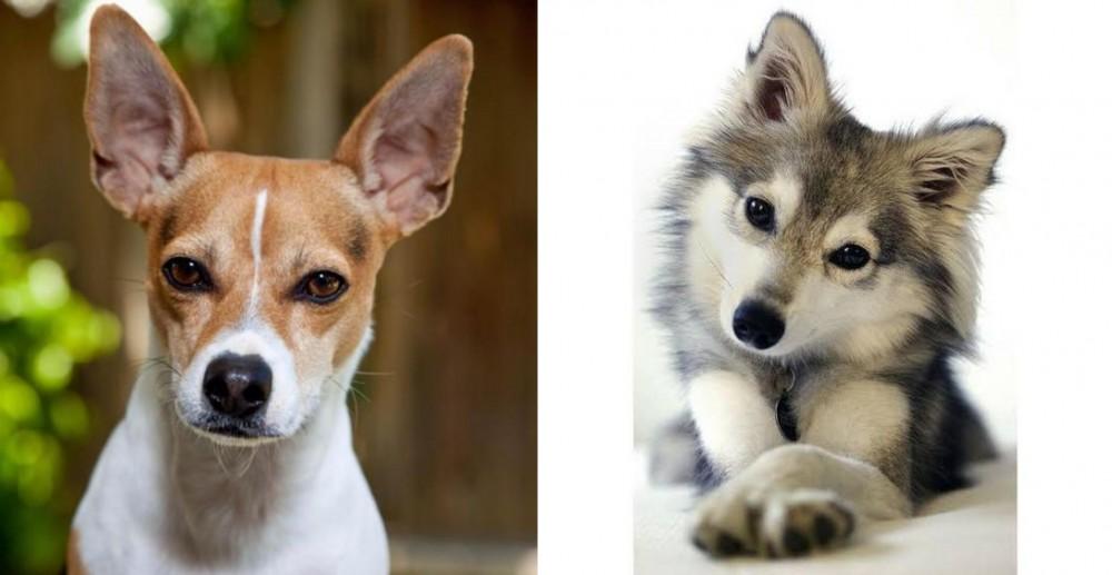 Rat Terrier vs Miniature Siberian Husky