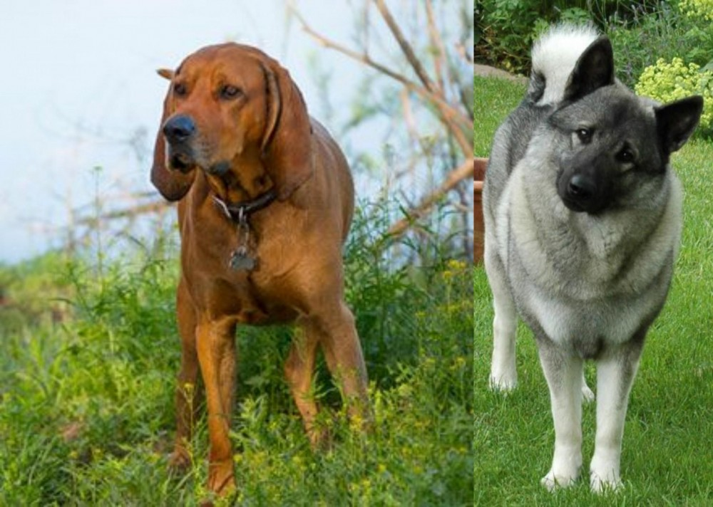 Redbone Coonhound vs Norwegian Elkhound