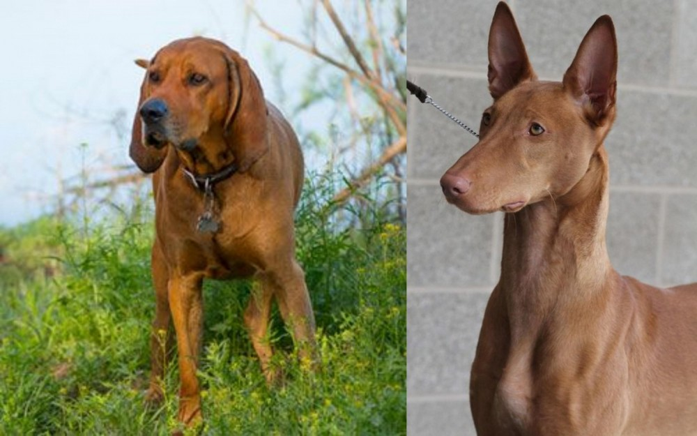 Redbone Coonhound vs Pharaoh Hound