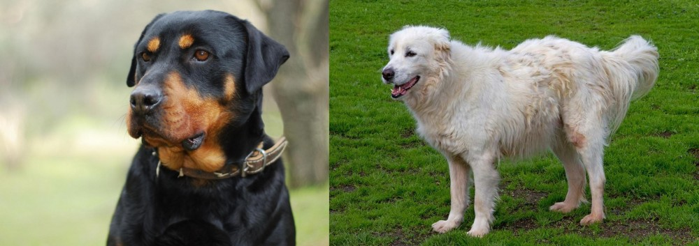 Abruzzenhund vs Rottweiler