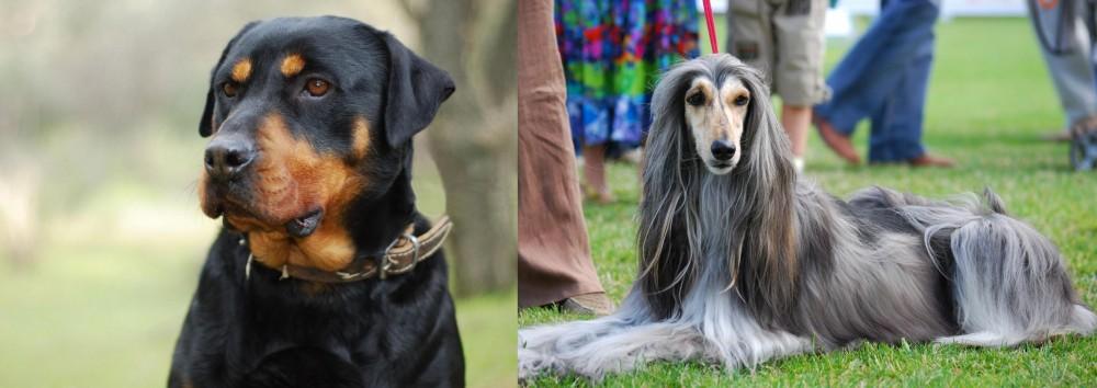 Afghan Hound vs Rottweiler
