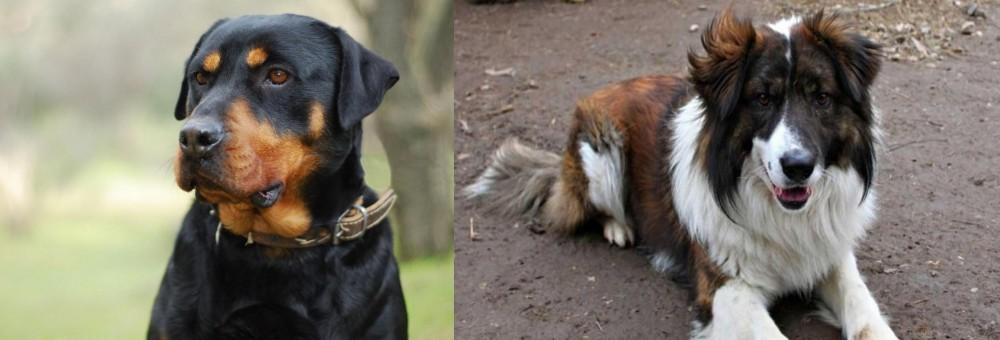 Aidi vs Rottweiler