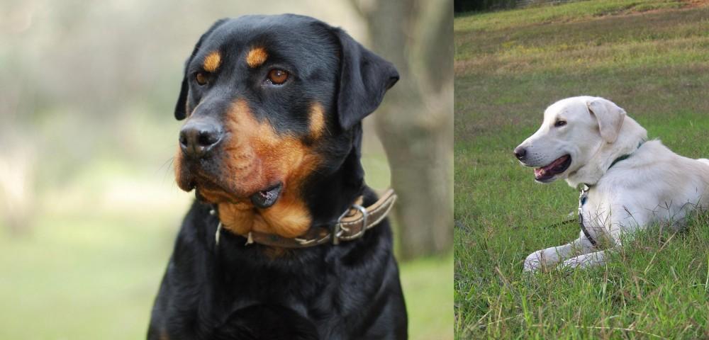 Akbash Dog vs Rottweiler