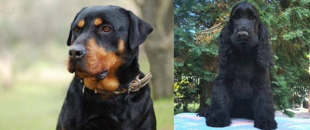 American Cocker Spaniel vs Rottweiler