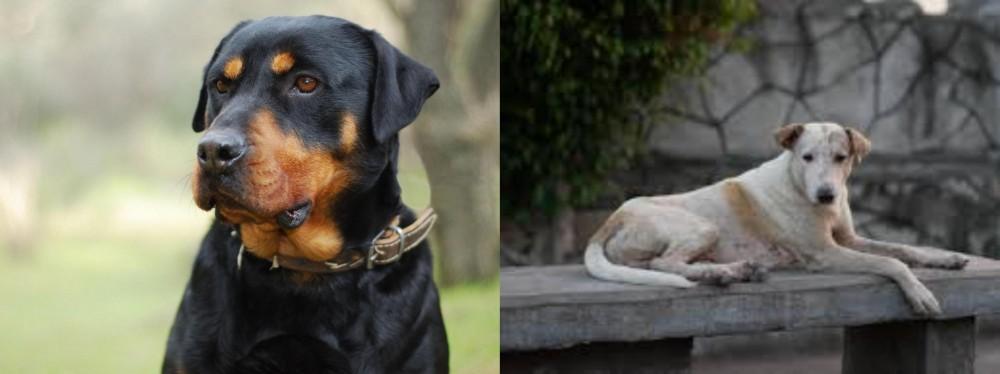 Askal vs Rottweiler